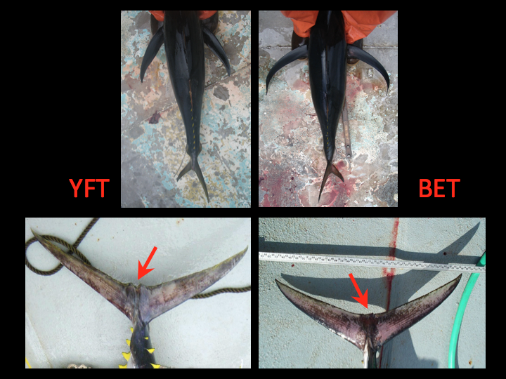 Yellowfin pectoral fins (top left) are straight and stiff, while bigeye pectoral fins (top right) make a smooth arc and have flexible tips. The caudal fin in a yellowfin has two ridges that make a distinctive V-shaped notch at the center of the fin, while the same area on the bigeye's caudal fin is relatively flat. (Photo: David Itano)
