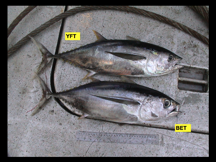 Faded markings: sometimes the lines and other markings on the sides of the fish can fade, preventing species identification using that characteristic. Here the yellowfin (top) retains some of its vertical markings below the lateral line, however the bigeye's (bottom) marks have almost entirely faded. (Photo: David Itano)
