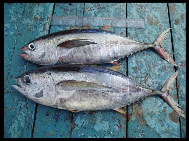 Top: Yellowfin Tuna Bottom: Bigeye Tuna (Photo: David Itano)