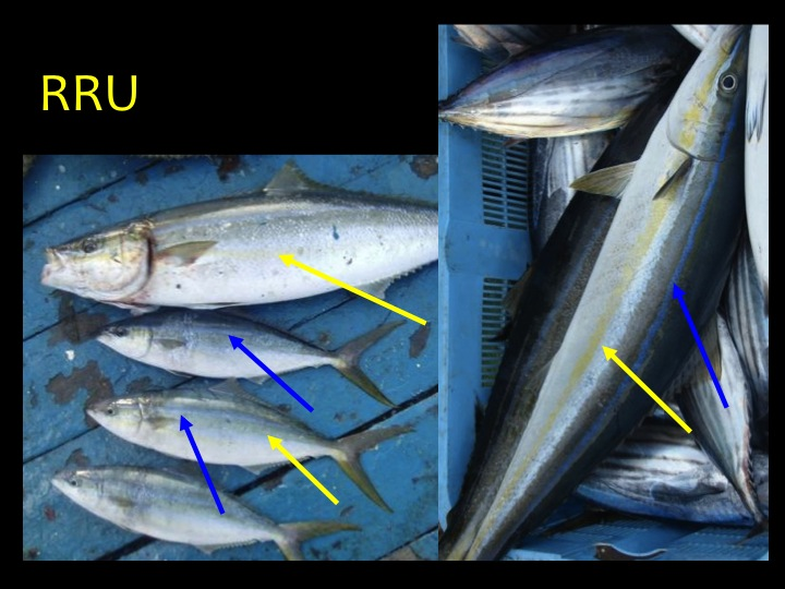 Rainbow Runner (RRU): Long, thin fish with blue and yellow stripes along the body. (Photo: Fukofuka & Itano, 2007)