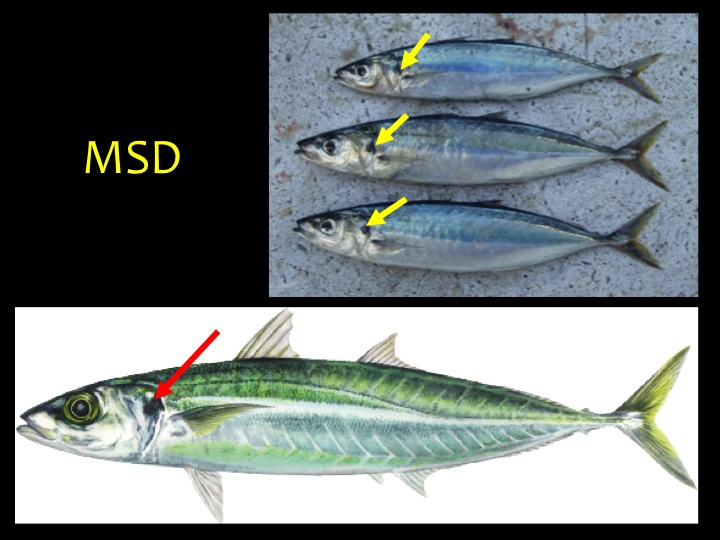 Mackerel Scad (MSD): Skinny shape, metallic black upper body and silver/white lower body, with a black mark on the upper gill flap (arrows) (Photo: Fukofuka & Itano, 2007)