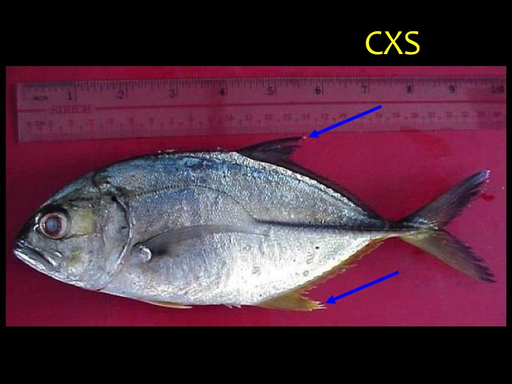Bigeye Trevally (CXS): Distinct shape with blue/green upper body and silver/white lower body, large eyes, white-tipped dorsal and ventral fins (arrows), yellowish-black caudal fin (Photo: Fukofuka & Itano, 2007)
