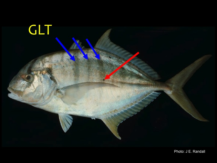 Golden Trevally (GLT): Yellow/silvery body, yellow fins, pattern of broad and narrow black bars (blue arrows), black spots on sides in adults (red arrow) (Photo: J.E. Randall)