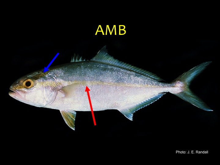 Greater Amberjack (AMB): Green/gray upper body and silver/white lower body, faint stripe along middle side (red arrow), dark strip over the eye (in the young especially, blue arrow) (Photo: J.E. Randall)