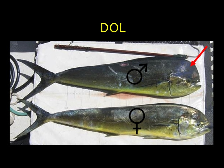 Dolphin Fish/Mahi Mahi (DOL): Distinct body shape, blue-green upper body, yellow lower body, males have a high forehead (red arrow) (Photo: Fukofuka & Itano, 2007)