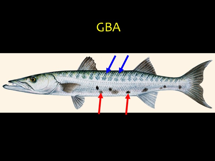 Great Barracuda (GBA): Long, thin fish with short, dark bars on silver sides (blue arrows), irregular dark sport on underside (red arrows), lower jaw sticks out (Photo: Fukofuka & Itano, 2007)
