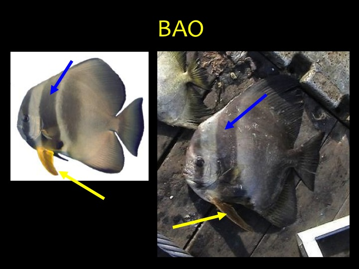 Longfin Batfish (BAO): distinctive shape with black bars (blue arrows) and yellow pelvic fins (yellow arrows) (Photo: Fukofuka & Itano, 2007)
