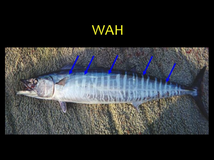 Wahoo (WAH): A long body shape with vertical bars across most of the body (blue arrows) (Photo: Fukofuka & Itano, 2007)