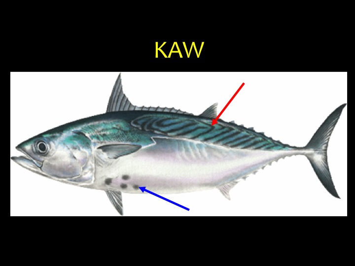 Kawakawa (KAW): The body shape is similar to tuna, however there are characteristic black spots on the belly, close to the pelvic fin (blue arrow), and broken diagonal stripes on its back (red arrow) (Photo: Fukofuka & Itano, 2007)
