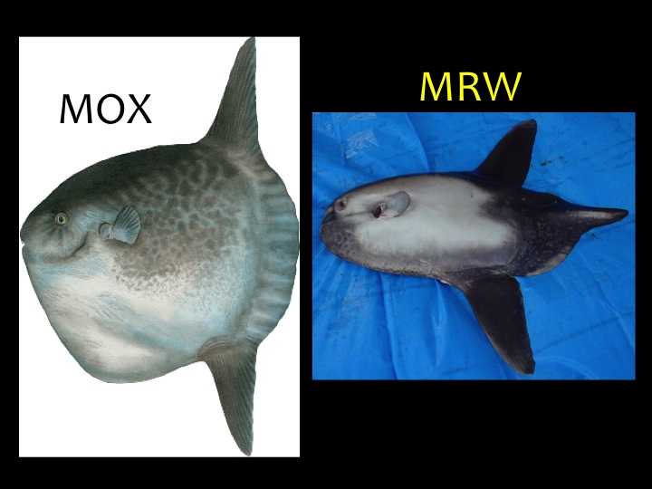 Ocean Sunfish (MOX) and Sharptail Sunfish (MRW). (Photo: Fukofuka & Itano, 2007)