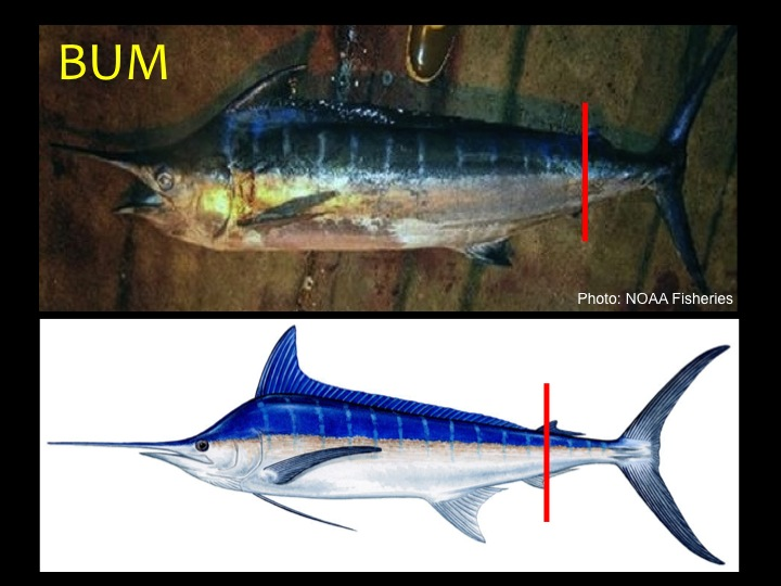 Blue Marlin (BUM): First dorsal fin height is ½ to ¾ of body depth, pectoral fins are nearly straight (not curved), blue-black color on upper half of body with white/silver below, second dorsal fin slightly behind the second anal fin (red bar) (Photo: Fukofuka & Itano, 2007)