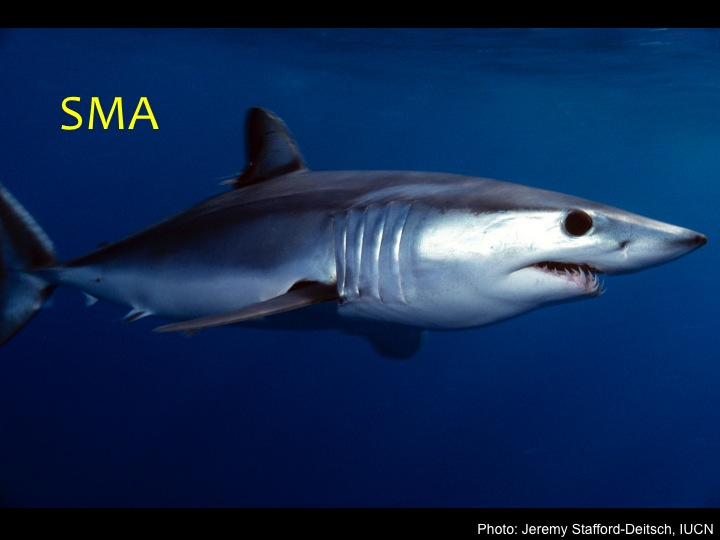 Shortfin Mako Shark (SMA): A pointed, cone-shaped snout, long gill slits behind the head, long and exposed teeth, and a dark, deep blue back, with a white belly (Photo: Jeremy Stafford-Deitsch_IUCN)