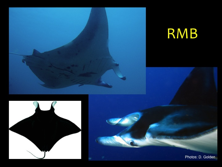 Giant Manta Ray (RMB): Very large body (up to 9 m across) with broad head and projections on either side of the mouth, near-black to black on top and whitish on the underside, short and thin tail usually without a spine (Photo: D. Golden)