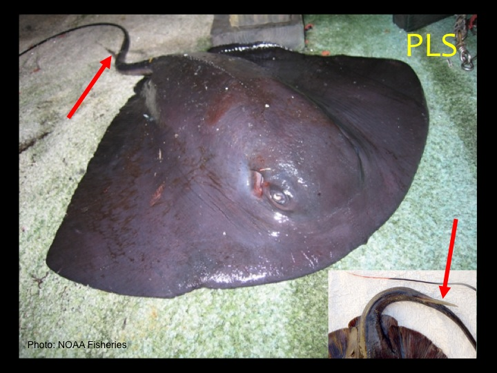 Pelagic Stingray (PLS): A wedge-shaped body much wider than it is long, non-protruding eyes, dark purple coloration, and a robust spine (red arrows) (Photo: NOAA Fisheries)