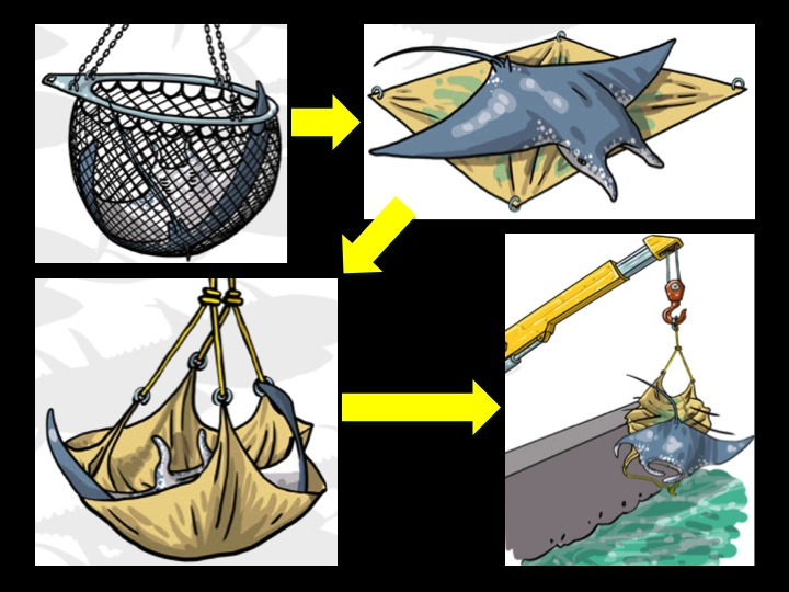Alternatively, the manta ray can be brailed onto a tarp on deck that is then lifted by the crane and released over the side. (Photo: Poisson et al 2012)