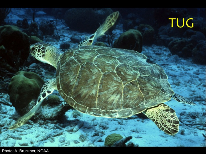 Green Turtle (TUG): Just two prefrontal scales between the eyes (unlike the other turtles with four or five), and a smooth oval shells that is brown and yellow-green in younger individuals, and darker green in adults (Photo: A. Bruckner, NOAA)