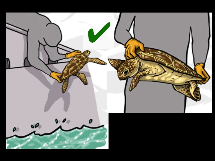 When handling, lift the turtle by grabbing the sides of its shell. Release the turtle gently into the water head first. (Photo: Poisson et al 2012)