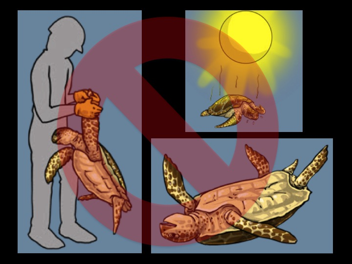 Do not lift the turtle by its flippers or use sharp objects (e.g., gaffs) to retrieve them. Do not leave turtles in the sun or lying on their backs. (Photo: Poisson et al 2012)
