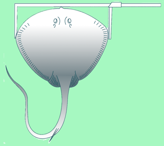 TW (total width): for rays (Photo: SPC)