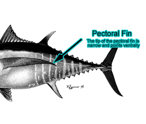 Pectoral Fin (Photo: Schafer, 1999)