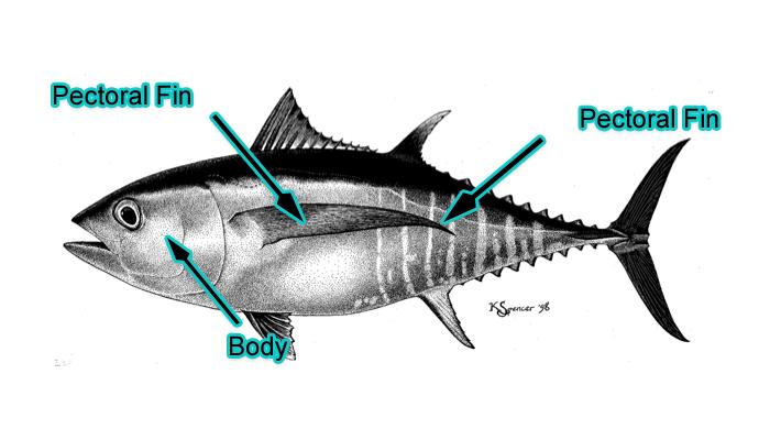Bigeye Tuna (Photo: Schafer, 1999)