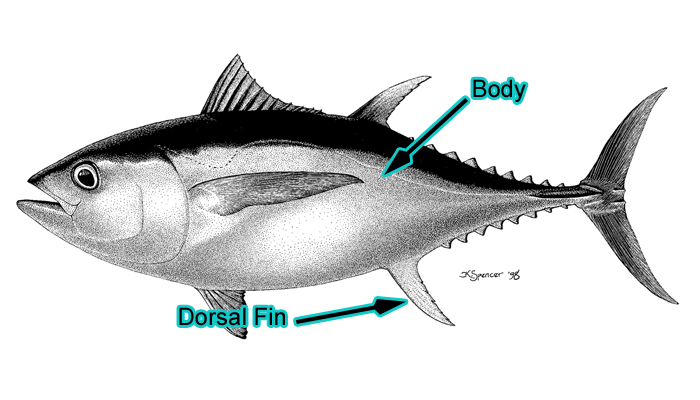 Large Bigeye Tuna (Photo: Schafer, 1999)