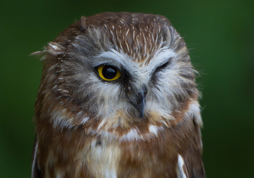 Totoba the Northern Saw-whet Owl