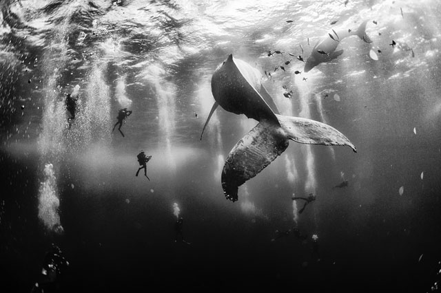 Anuar Patjane Floriuk's grand prize winning capture of divers swimming alongside a humpback whale and her newborn calf in Revillagigedo, Mexico | 2015 National Geographic Traveler Photo Contest, via PetaPixel
