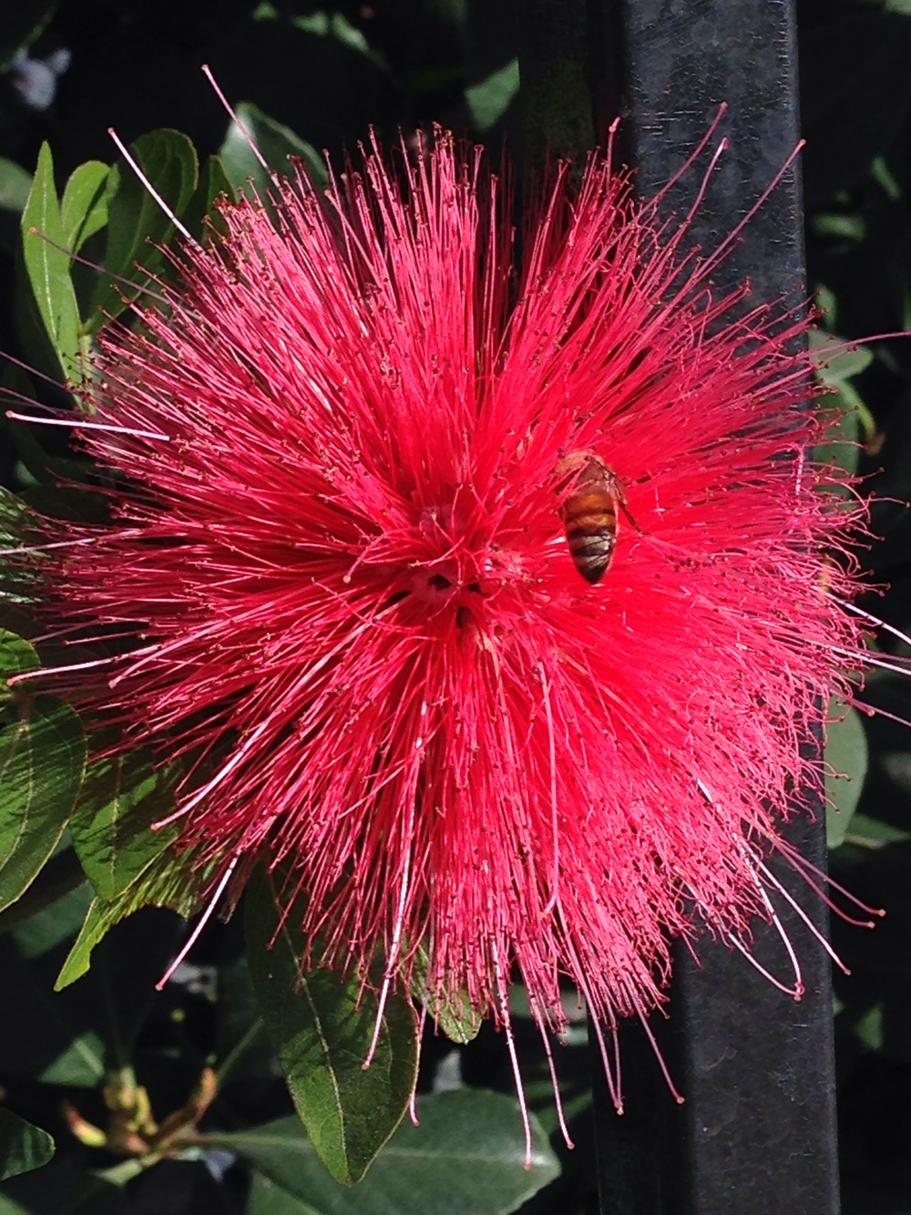 I took notice of this bright pink, fuzzy flower walking in my neighborhood. Took a closer look and this guy was doing work!