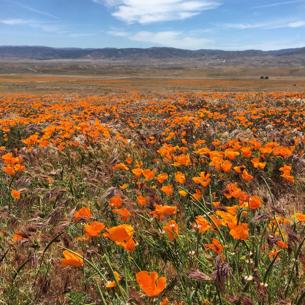 The rain got CA out of the drought this year.  The poppy fields were epic