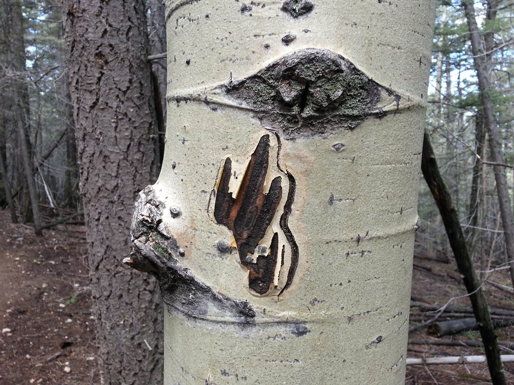 Aspen with Bear Marks