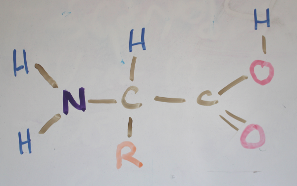 "This is the basic structure of an amino acid. The ""R"" could be a number of carbon containing systems."