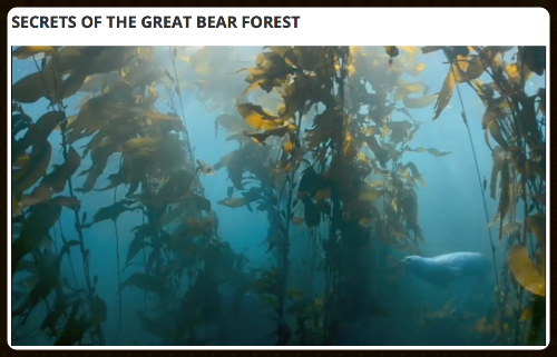 Secrets of the Great Bear Forest , web episode by Jeff Turner for CBC The Nature of Things with David Suzuki