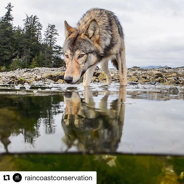#Repost @raincoastconservation ・・・ Great news - today we reached $150,000 towards the $500,000 needed to end commercial trophy hunting of wolves, bears, cougars and more in the Nadeea hunting tenure.  This includes a $100,000 donation from @lushcosmetics 🙏🏾 Please tag a friend who might like to help us permanently protect wildlife.  #pnw #wildlife #conservation #wolves #bears #wildlifephotography #savethegreatbears  Thanks for the fantastic 📷 @tavishcampbell