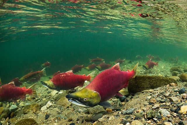 In a few short months the next wave of young sockeye smolts will be passing virus laden fish farms on their way to sea. —— Will Premier John Horgan allow safe passage for these fish? Tell him he must. —— Immense gratitude to the First Nations standing up for these fish that feed us all. @cleansingourwaters @awinakolawarriors  #wildsalmon #fishlove #FishFarmsGetOut