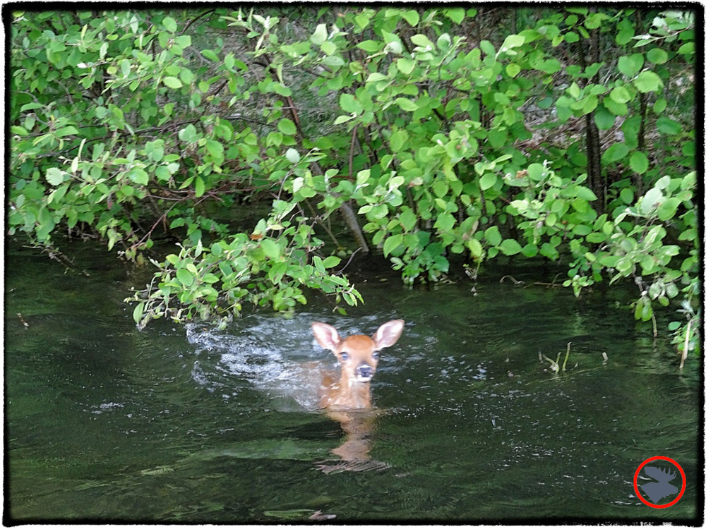 The fawn heard my whistle and swam out to our canoe!
