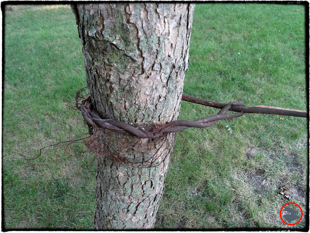 The Timber Hitch can be used with natural fibers, potentially a great aid in a survival situation. Twisting the fibers like you're wringing a towel before tying the Timber Hitch will help with flexibility of the fibers.