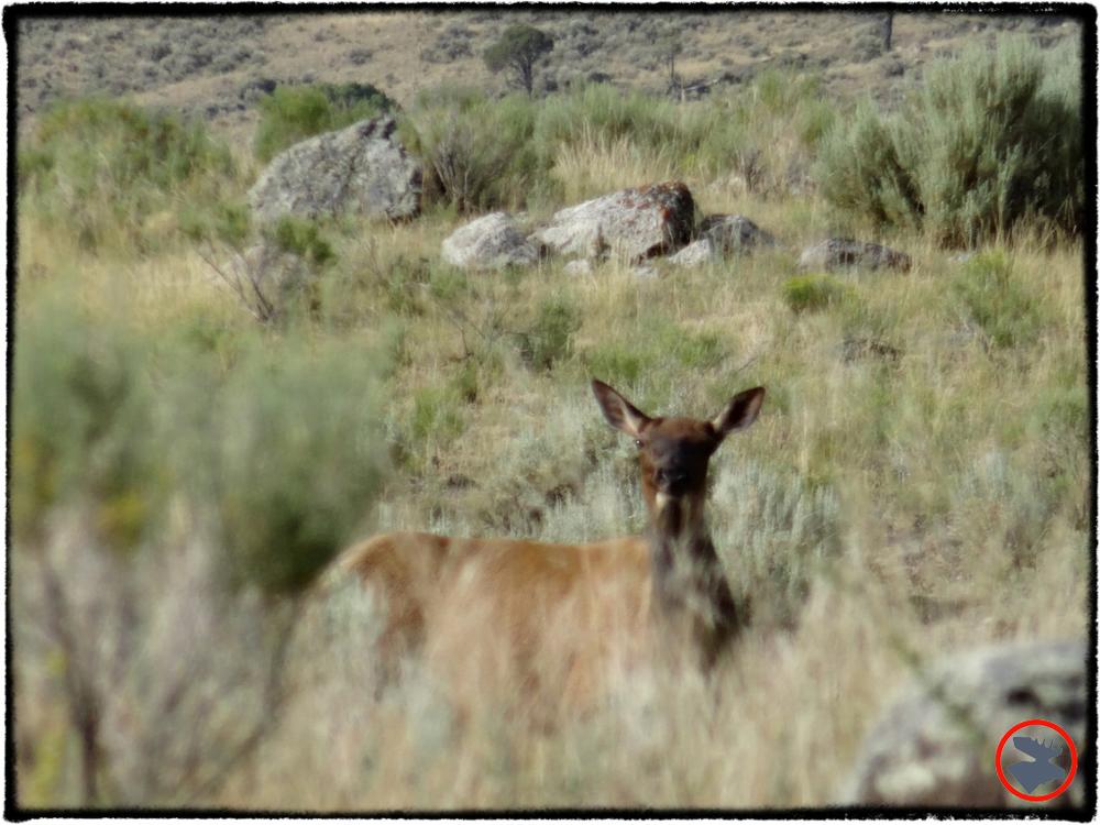 BMP-Post_Yellowstone_Mule-Deer1_October-2014.jpg