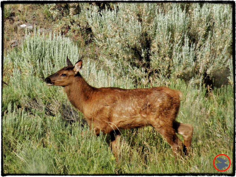 BMP-Post_Yellowstone_Mule-Deer2_October-2014.jpg