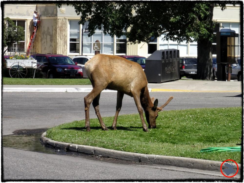 BMP-Post_Yellowstone_Elk2_October-2014.jpg