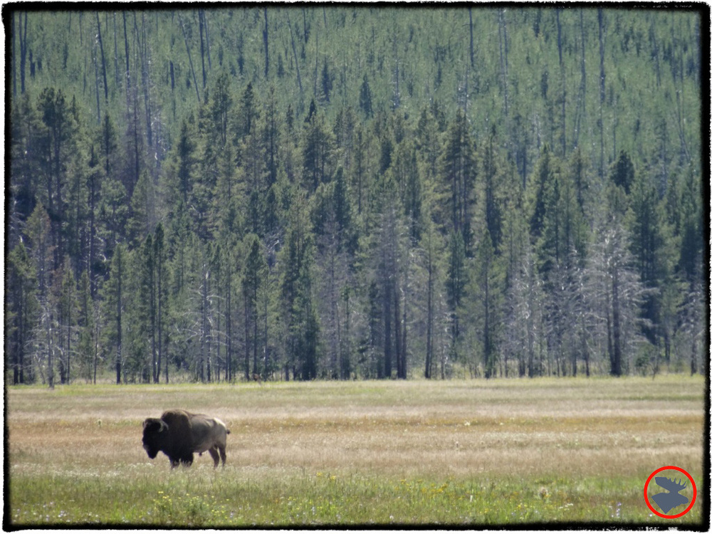 BMP-Post_Yellowstone_Bison3_October-2014.jpg