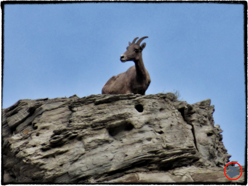 BMP-Post_Yellowstone_Mountain-Goat_October-2014.jpg