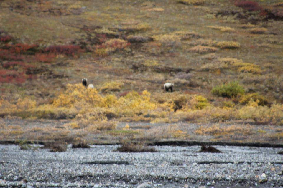 BMP Post_Expedition Log_Denali_Mother & Cubs2_October 2014.jpg