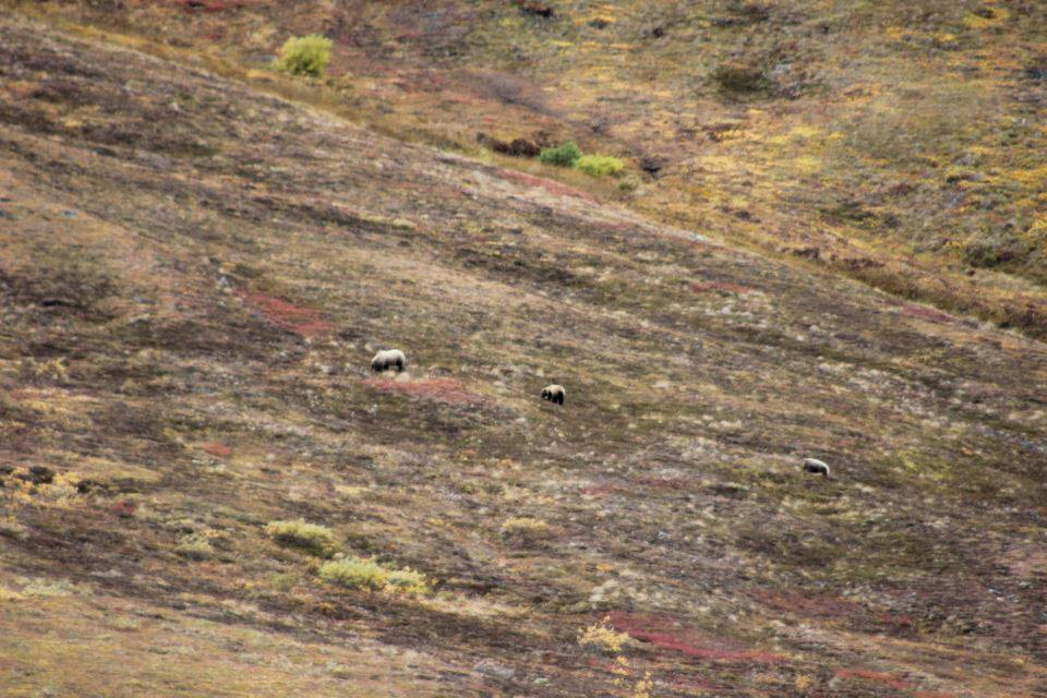 BMP Post_Expedition Log_Denali_Mother & Cubs1_October 2014.jpg
