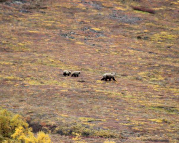 Bears in Denali | www.BullMoosePatrol.com