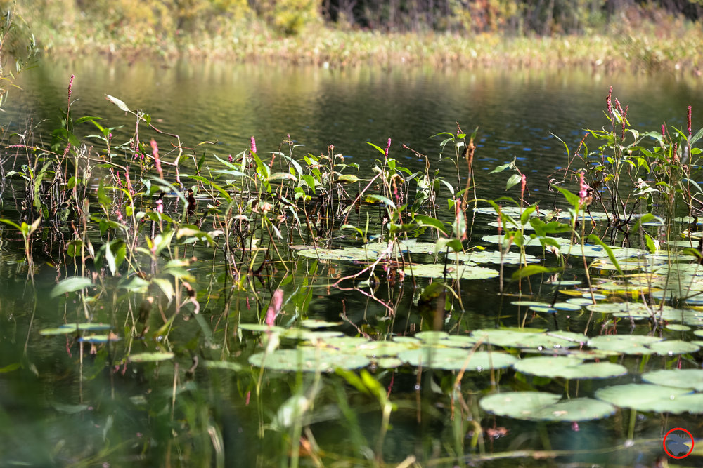 BMP-Post_Expedition-Log_Loyhead-Canoe-Route_Lillypads_9-10-17.jpg
