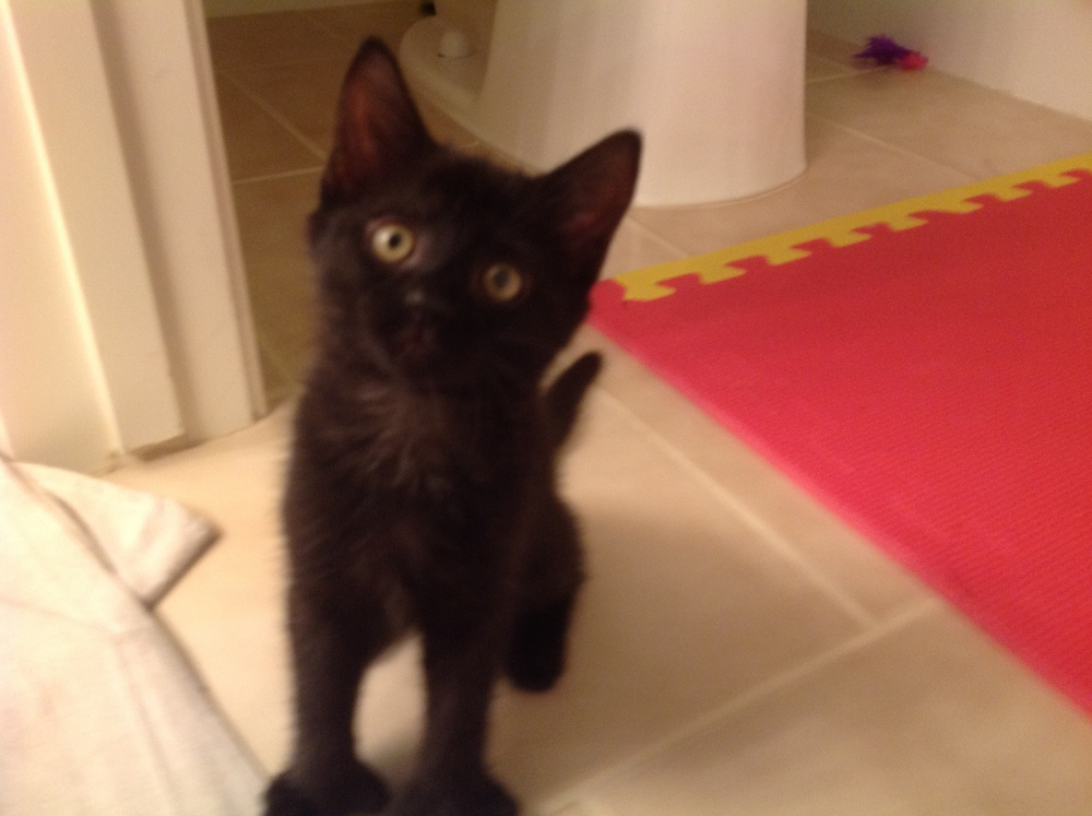 Black polydactyl kitten