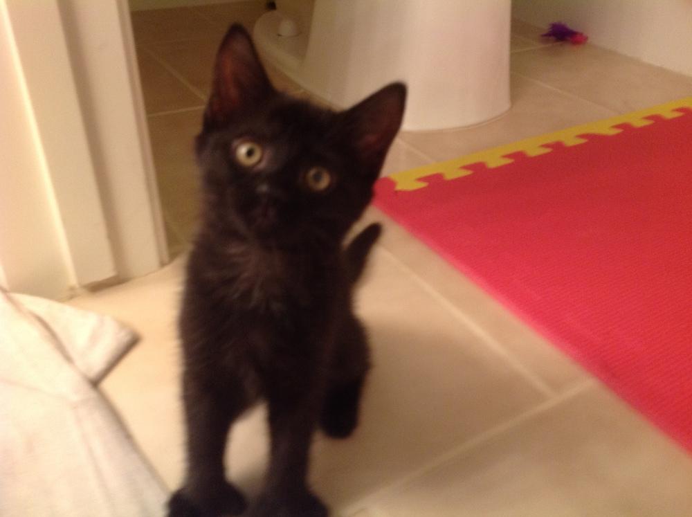 Black polydactyl kitten