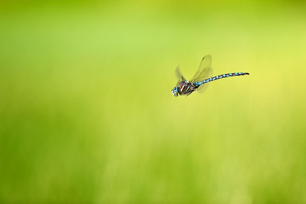 A dragonfly hovering over a lake high in the Colorado Rockies