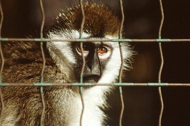 305 scimmia  monkey